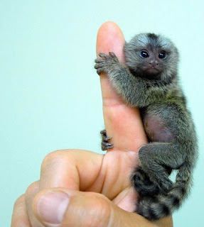 marmoset monkey small unique species pets