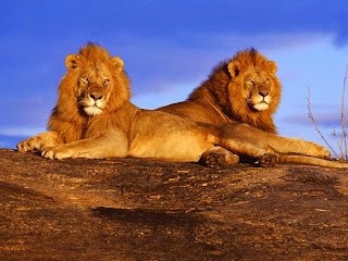 Afrički lavovi besplatne pozadine za desktop download