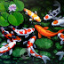 Lukisan Koi 9 Kolam Bunga Teratai 100x70cm MK-090