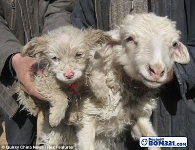 Kambing Biri-Biri Melahirkan Anak Anjing Di China