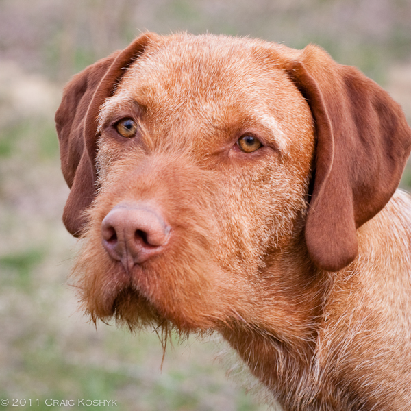 ... Vizsla Mix Wirehaired pointers, Brown German Wirehaired Pointer