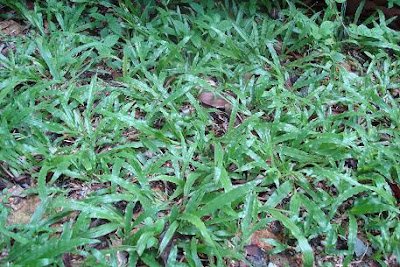 grama ancha Axonopus compressus