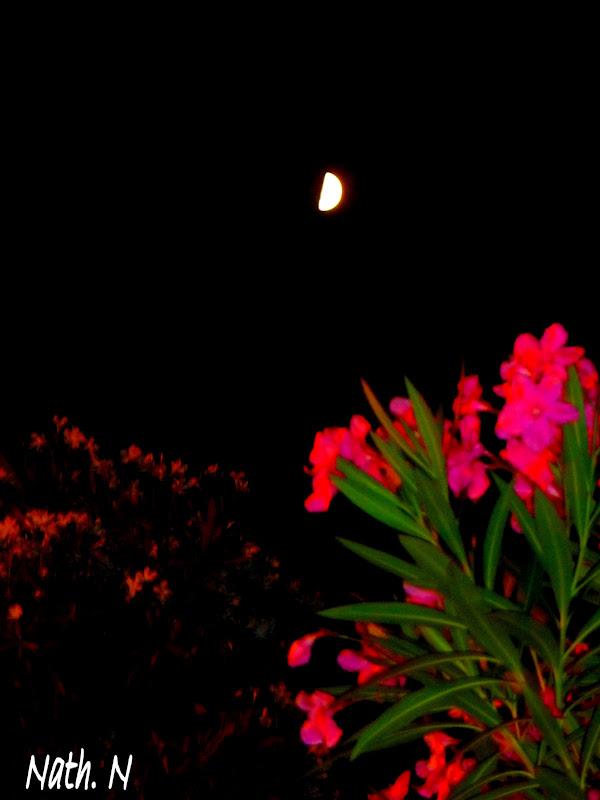 Il tait une fois quand les lauriers roses flirtent avec la lune - Quand tailler les lauriers roses ...