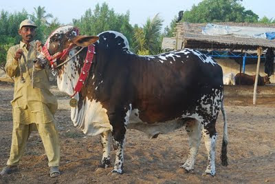 Cow Qurbani 2011 In Karachi http://vuhelp.net/sms-corner/15489-latest-bakra-eid-wallpaper-2011-12-a.html