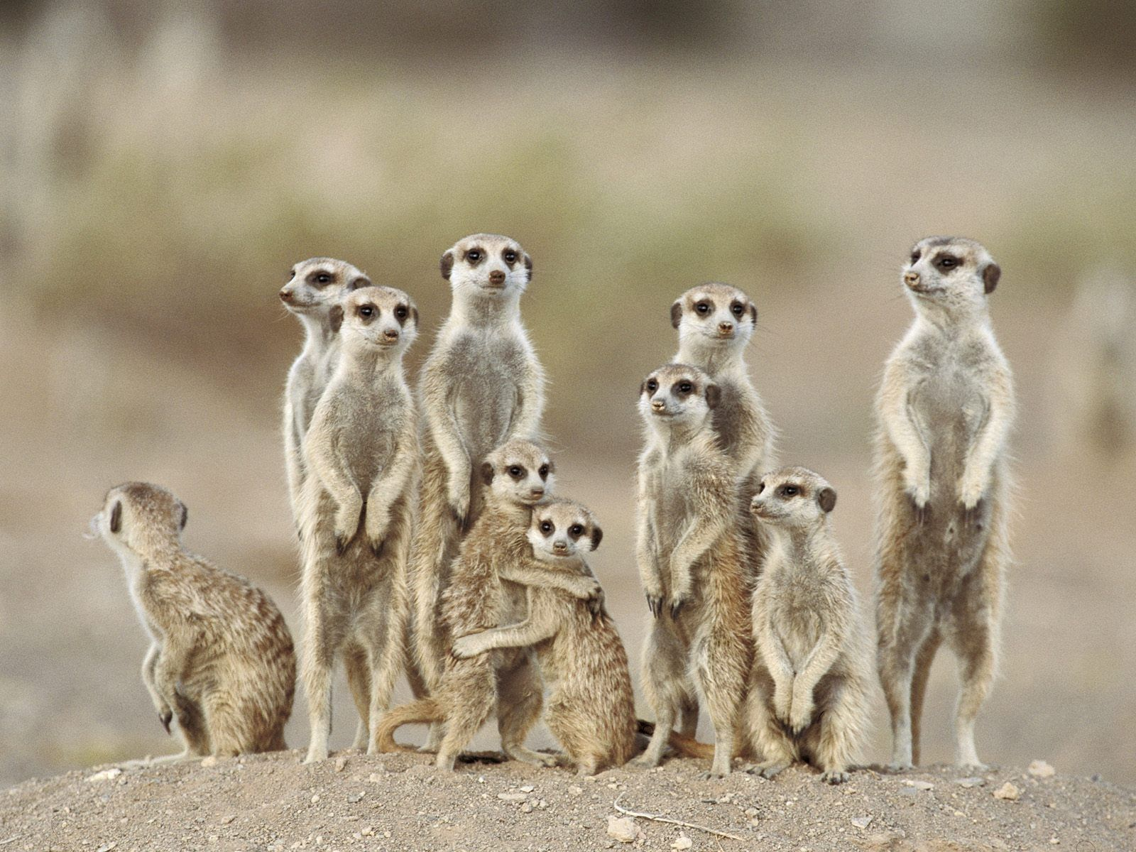meerkats wallpapers fun - photo #17