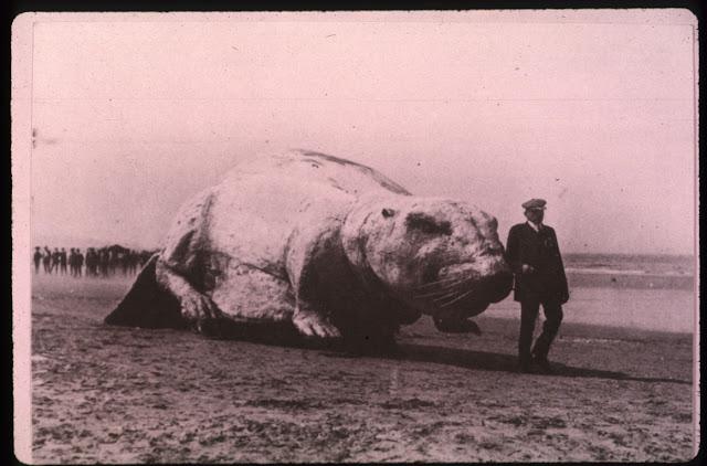 M.I.T. giant beaver