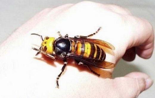 15 Serangga Terbesar di Dunia: Hornet Raksasa Jepang
