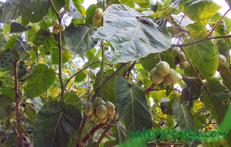 tomate de arbol o tamarillo