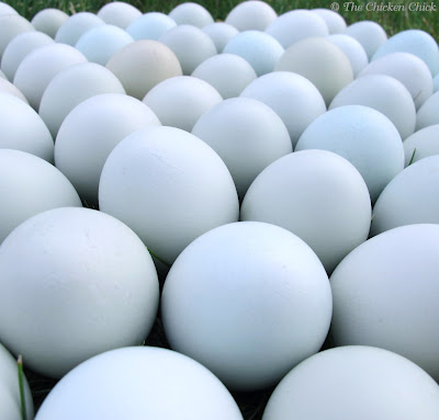 Blue eggs from chickens cause explained