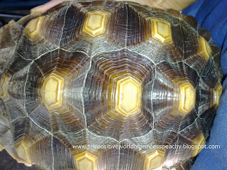 Geochelone sulcata tortoise pink outlines in between scutes are a sign of new shell growth. Cute and funny sulcata pet tortoise