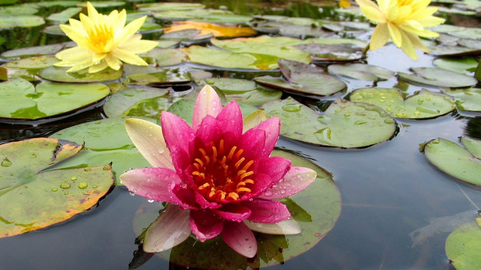 http://1.bp.blogspot.com/-9-gXDYrGVKk/T0a5LZYwOmI/AAAAAAAADu4/JdnAIA1X7Gg/s1600/Pink+Water+Lily+HD+Wallpaper+1920x1080.jpg