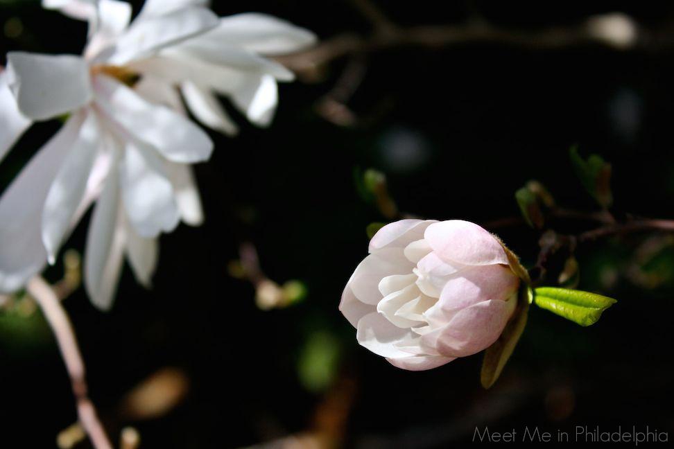 star magnolia bud via Meet Me in Philadelphia
