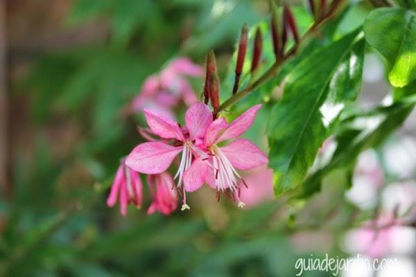 Flores de gaura