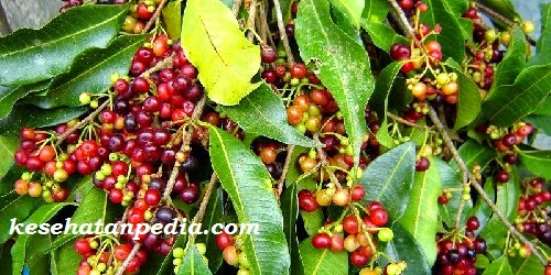 manfaat buah buni