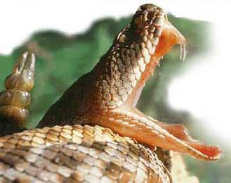 El veneno de la Serpiente de Cascabel