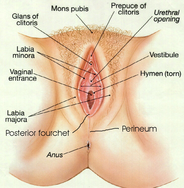 Diagram women vagina