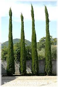cupressus sempervirens cipres plantas en valladolid jardines fito. Black Bedroom Furniture Sets. Home Design Ideas