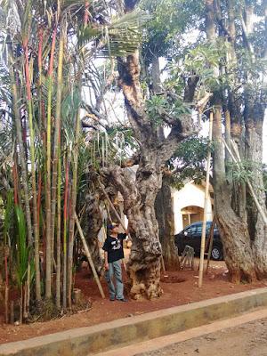 Tukang Taman Surabaya Jual Tanaman Hias Kamboja Fosil