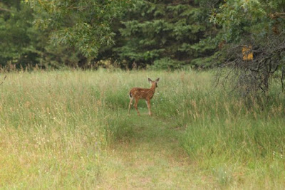 whitetail fawn, late July 2014