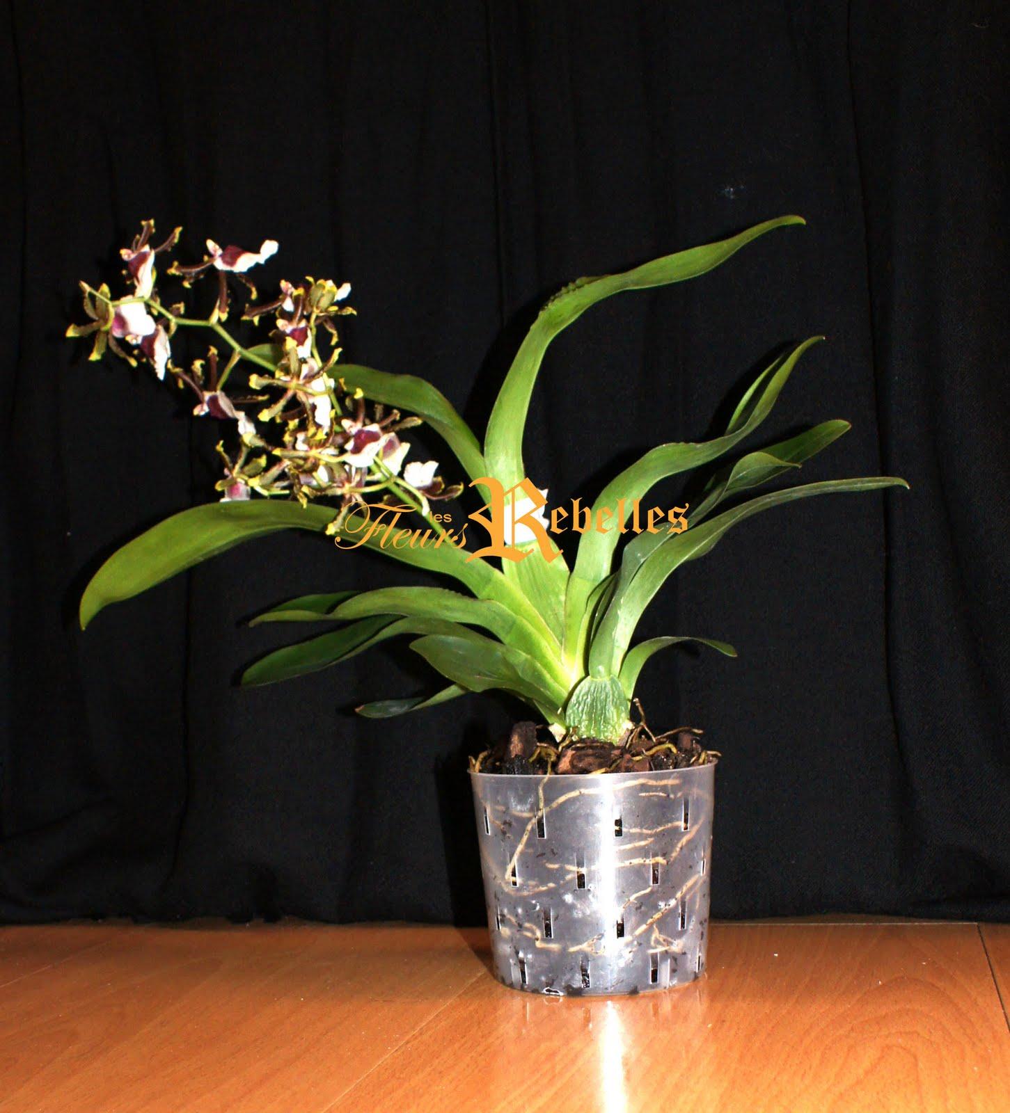 Les fleurs rebelles blog lifestyle diy le photomaton de mes orchid es - Prendre soin des orchidees ...