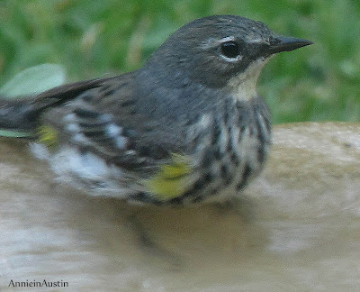 Annieinaustin, could be yellow-rumped warbler