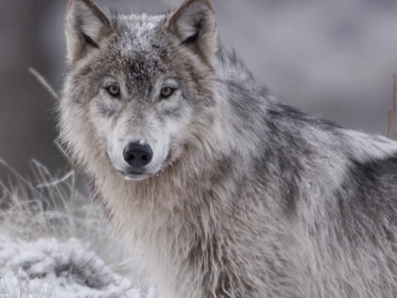 Idaho Suspends Wilderness Wolf-Killing Plan In Face of Court Challenge