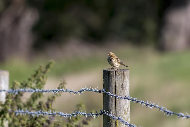 Meadow Pipit - Manor Farm