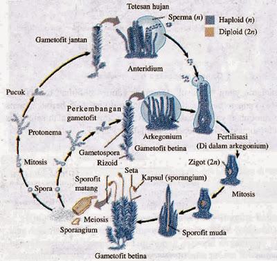 Siklus hidup lumut daun