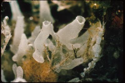 contoh Praktikum taksonomi hewan porifera,  yang mana ini merupakan saluran yang paling simple
