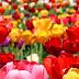 Tulip HD Wallpaper For Mobile
