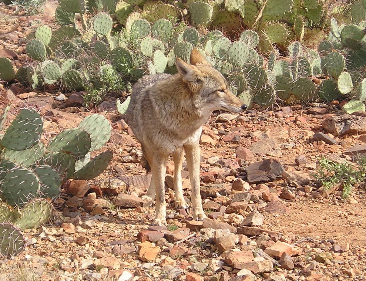Desert coyote pictures - photo#26