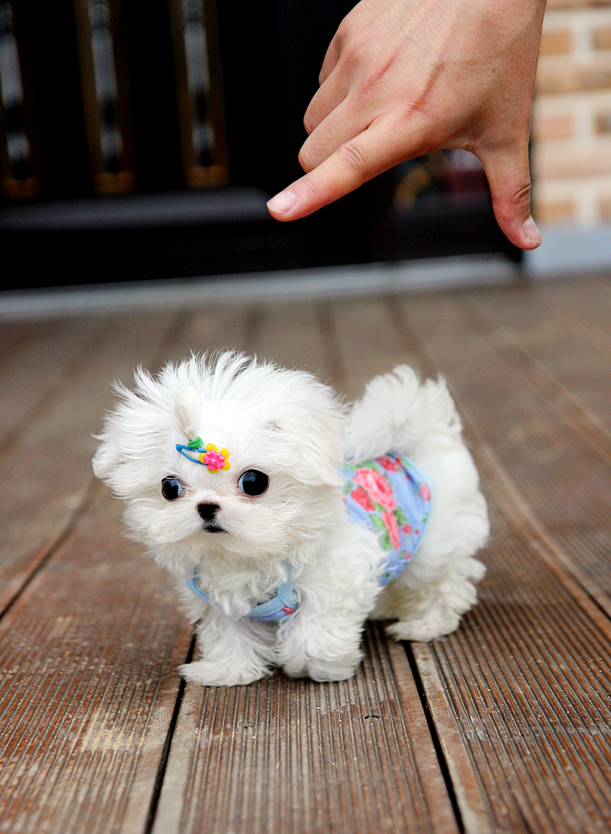 The Cutest,The Tinniest,The Finest Teacup Puppy For You!: Teacup size ...