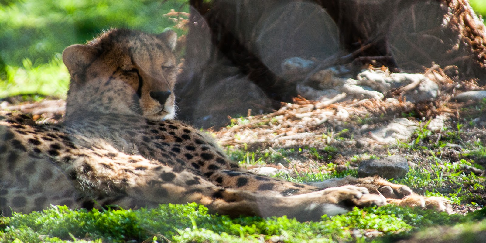 Cheetah, Fossil Rim Wildlife Center