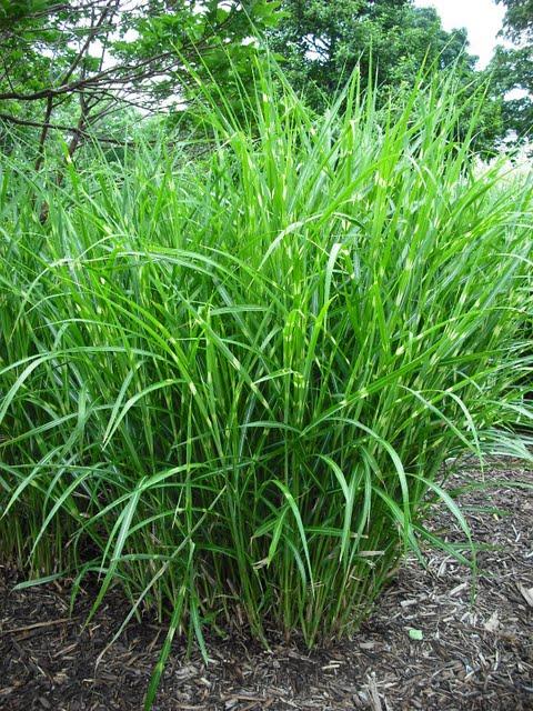 Zebrinus Ornamental Grass Ornamental Grass Reaching