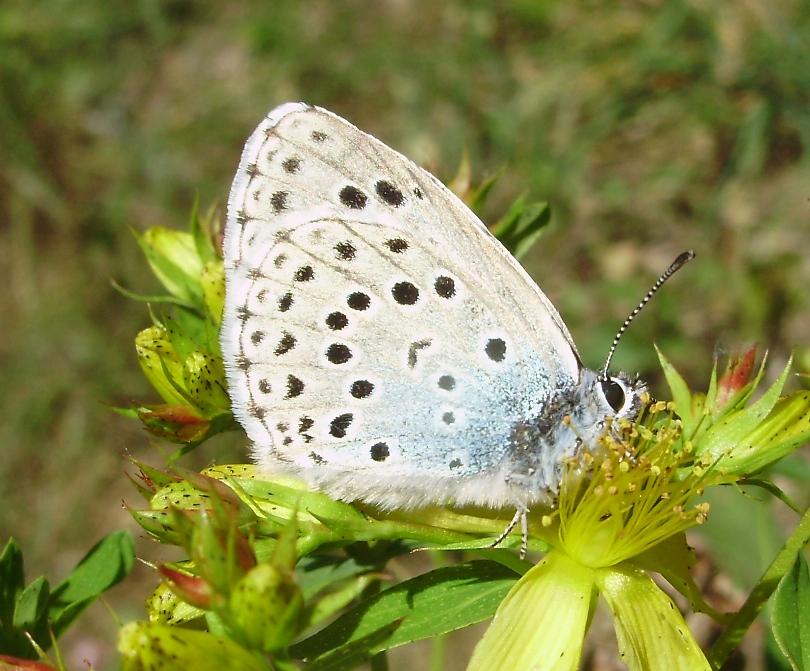 Bolboreta Phengaris arion