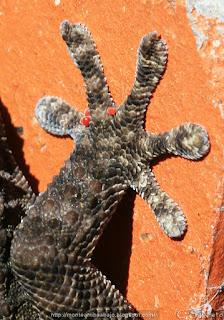 Tarentola mauritanica pata