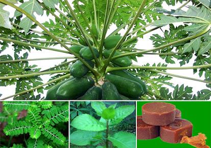 Ramuan Obat Herbal (Bahan Alami) Untuk Mengobati Penyakit Malaria