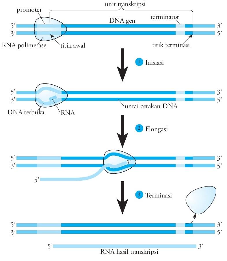 Proses dan tahapan sintesis protein pengertian replikasi transkripsi rna ccuart Images