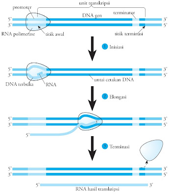 transkripsi RNA