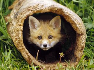 ملف كامل عن اجمل واروع الصور للحيوانات  المفترسة   حيوانات الغابة  42