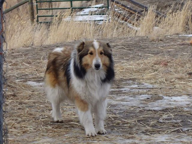 Sheltie female