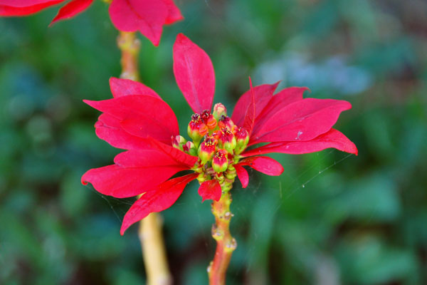 Sydney red flower petals
