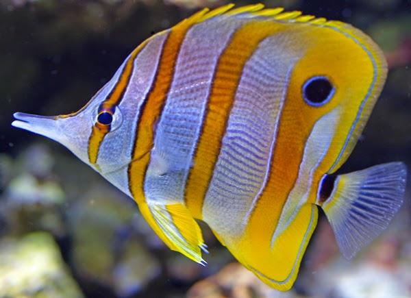 5 Jenis Ikan Hias Air Laut dan Cara Merawatnya