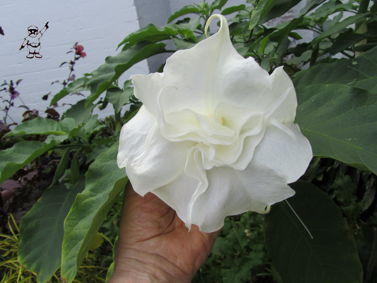 The Opinionated Gardener of Coral Gables A Double White Brugmansia Angel Tr