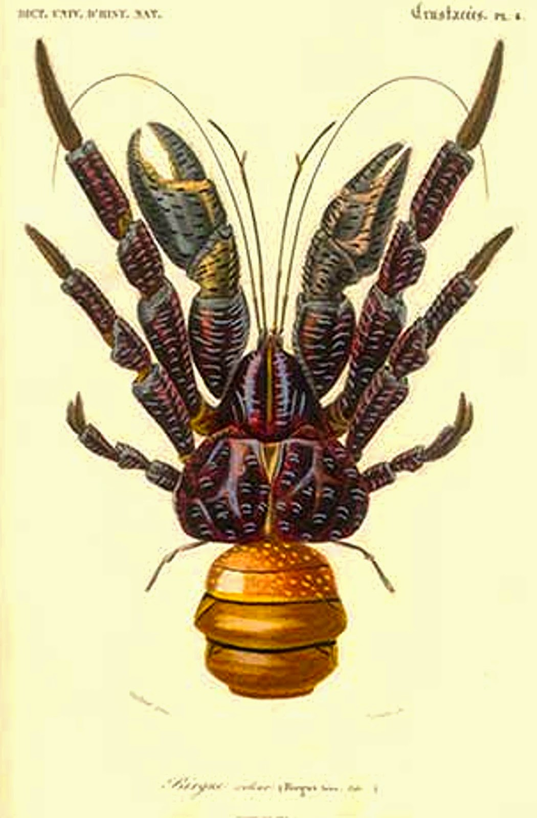 evolution of the coconut crab Harries: coconut palm' robber crab practical joke  served coconut  crab as part of the meal and this  greatly contributed to the evolution of the.