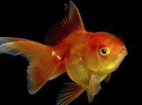 Peixinho dourado sofria de constipação intestinal e teve de passar por cirurgia (foto ilustrativa) Foto: BBC Mundo / Copyright