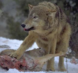 Lobo con su presa