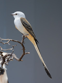 Scissor-tailed Flycatcher at the National Aviary in Pittsburgh