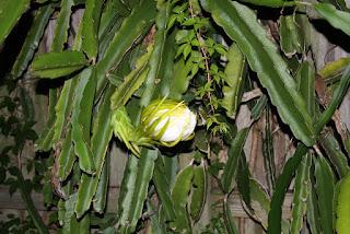 Muito usada como planta ornamental em jardins.