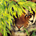 Fotos de diversos felinos salvajes